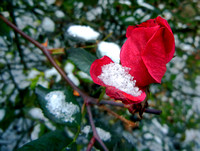 LATE ROSE EARLY SNOW (nr Detroit )