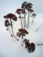 PLANT IN SNOW #3 (nr Detroit)