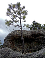PINE GROWING IN ROCK BASIN (Mt Rushmore SD)