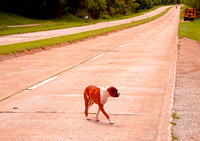 DOG ON PAVEMENT (Rt 66 nr Devils Elbow MO)
